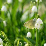 ユリの花とモンシロチョウ