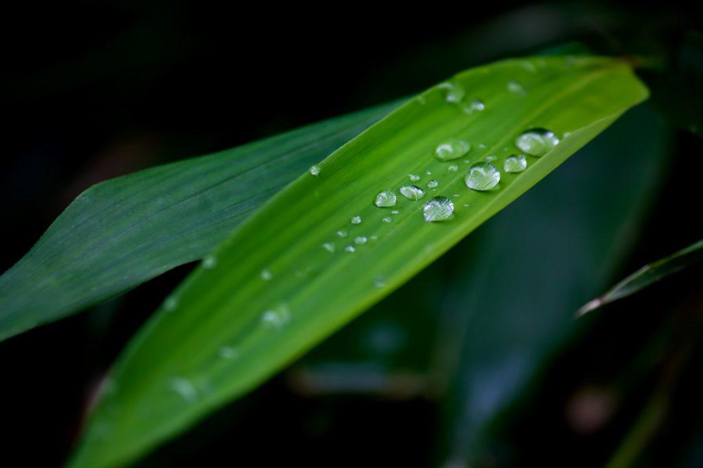 水滴のついた笹の葉
